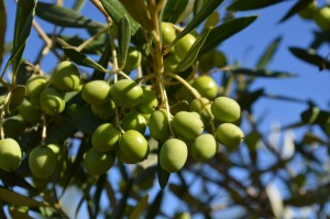 PHOTO OLIVES blue sky